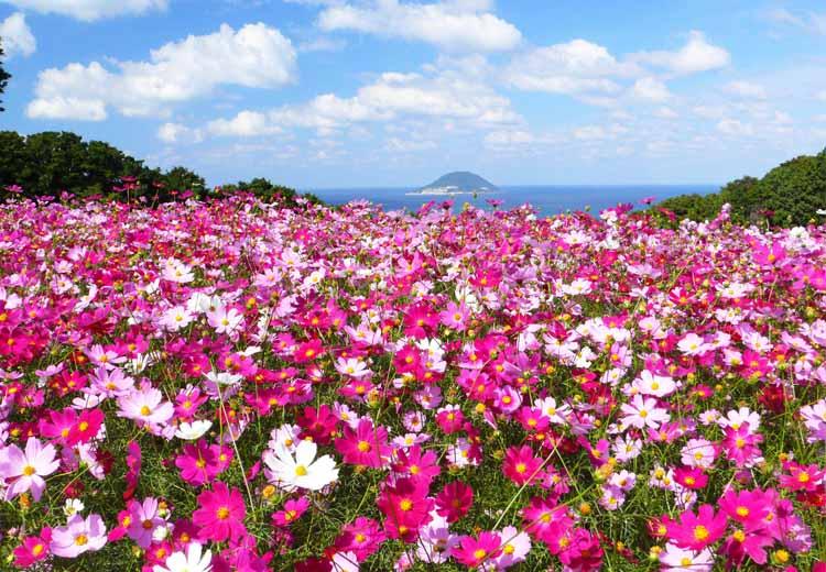 能古島に50万本のコスモスを見にいこう